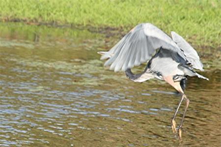 long legs heron